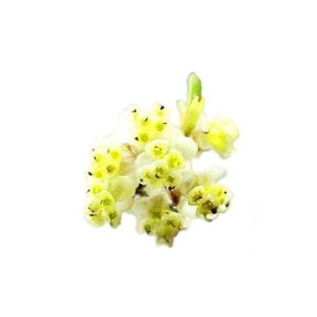 Japoninių laurenių eterinis aliejus, 10ml