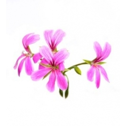 PELARGONIJŲ ETERINIS ALIEJUS, 5ML/10ML